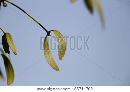 Mistletoe Leaves