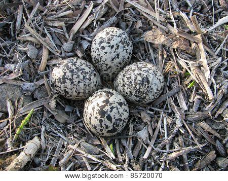 Killdeer eggs