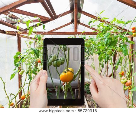 Tourist Photographs Of Tomatoes In Greenhouse