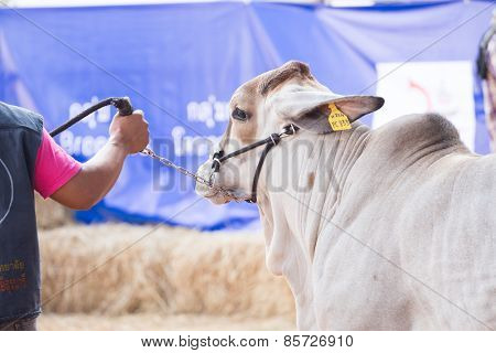 Beef cattle is show body for judging contest
