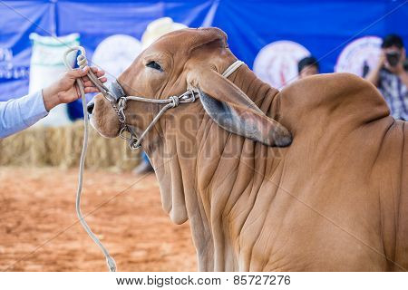 Beef cattle judging contest