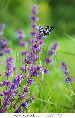 Butterfly (tirumala Hamata Orientalis) On A Violet Wild Flower