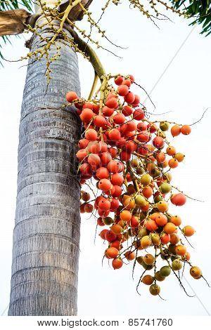Cyrtostachys Renda (sealing Wax Palm, Lipstick Palm, Raja Palm, Maharajah Palm) , Ornamental Plant I