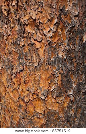 Pattern and colors of pine tree trunk bark