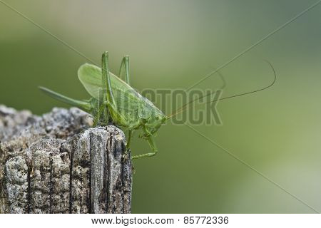 Great Green Bush-Cricket perched on a trunk, Vosges, France
