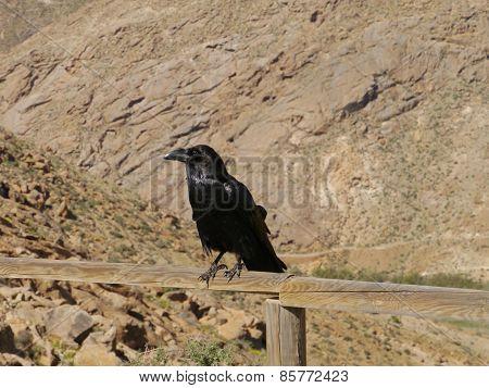 Canary Island Ravens