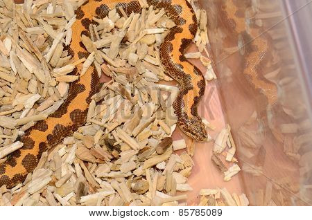 Kenyan Sand Boa(eryx Colubrinus Loveridgei)