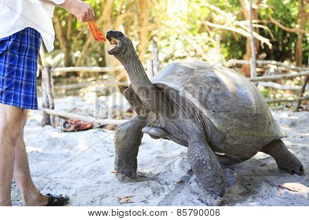 Aldabra giant tortoise reaching for the leaves in hand of tourist.
