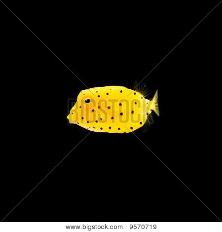 yellow box fish