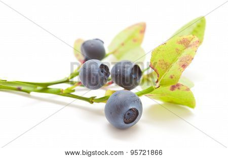 Bilberry Isolated