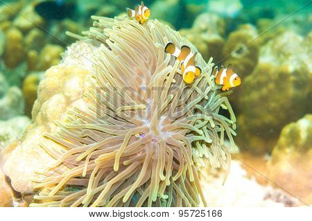 Pacific Clownfish In A Colorful Purple Host Anemone