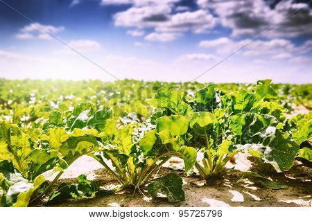 Summer Landscape. Agricultural Field With Sugar Beet