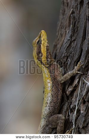 Wild varan on tree bark in tropics