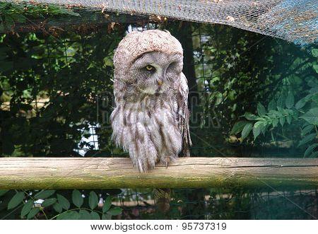 Single Great Grey Owl, Strix Nebulosa, Carabo Lapon