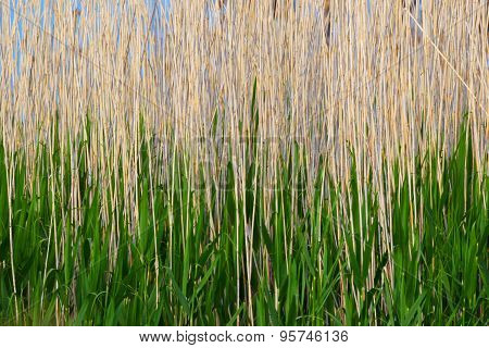 Abstract background of a reed.