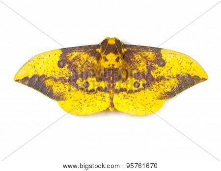 Imperial Moth (Eacles imperialis) on a white background poster