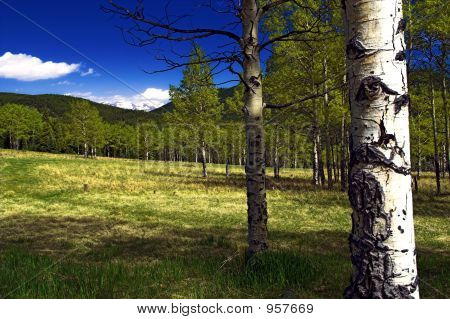 Summer Aspen Trees In A Mountain Meadow