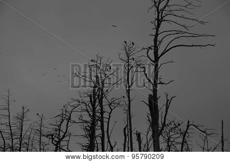 Silhoute Of A Cormorants In Dead Trees. Spooky Scene