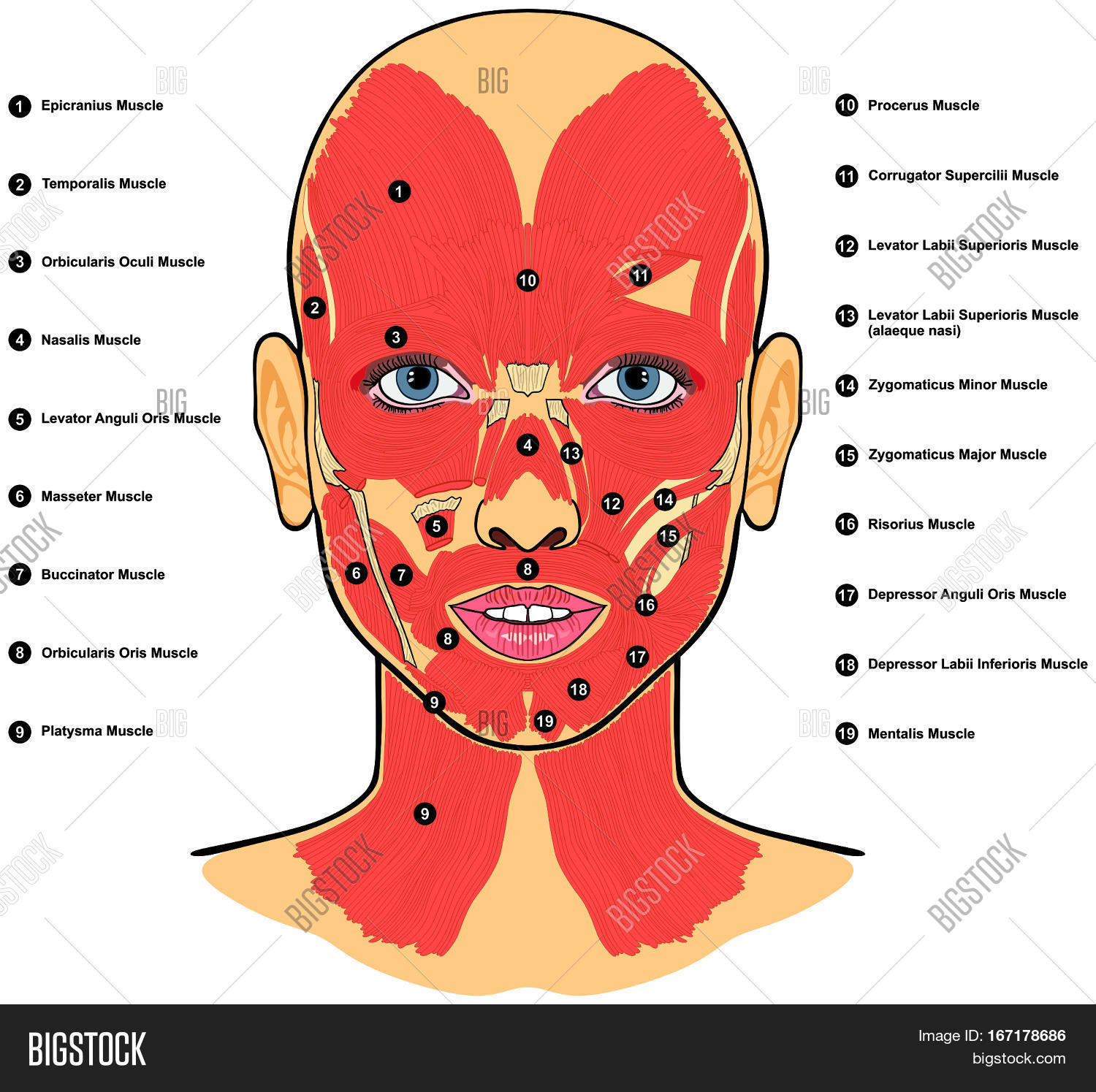 Human Face Muscles Image Photo Free Trial Bigstock