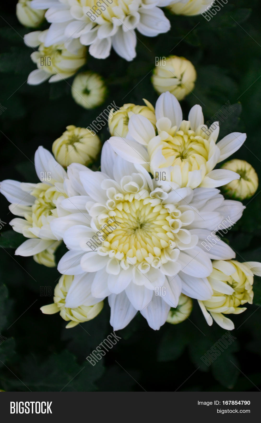These white flowers image photo free trial bigstock these are white flowers called chrysanthemum or florists mun or mums flowers and a sacred mightylinksfo