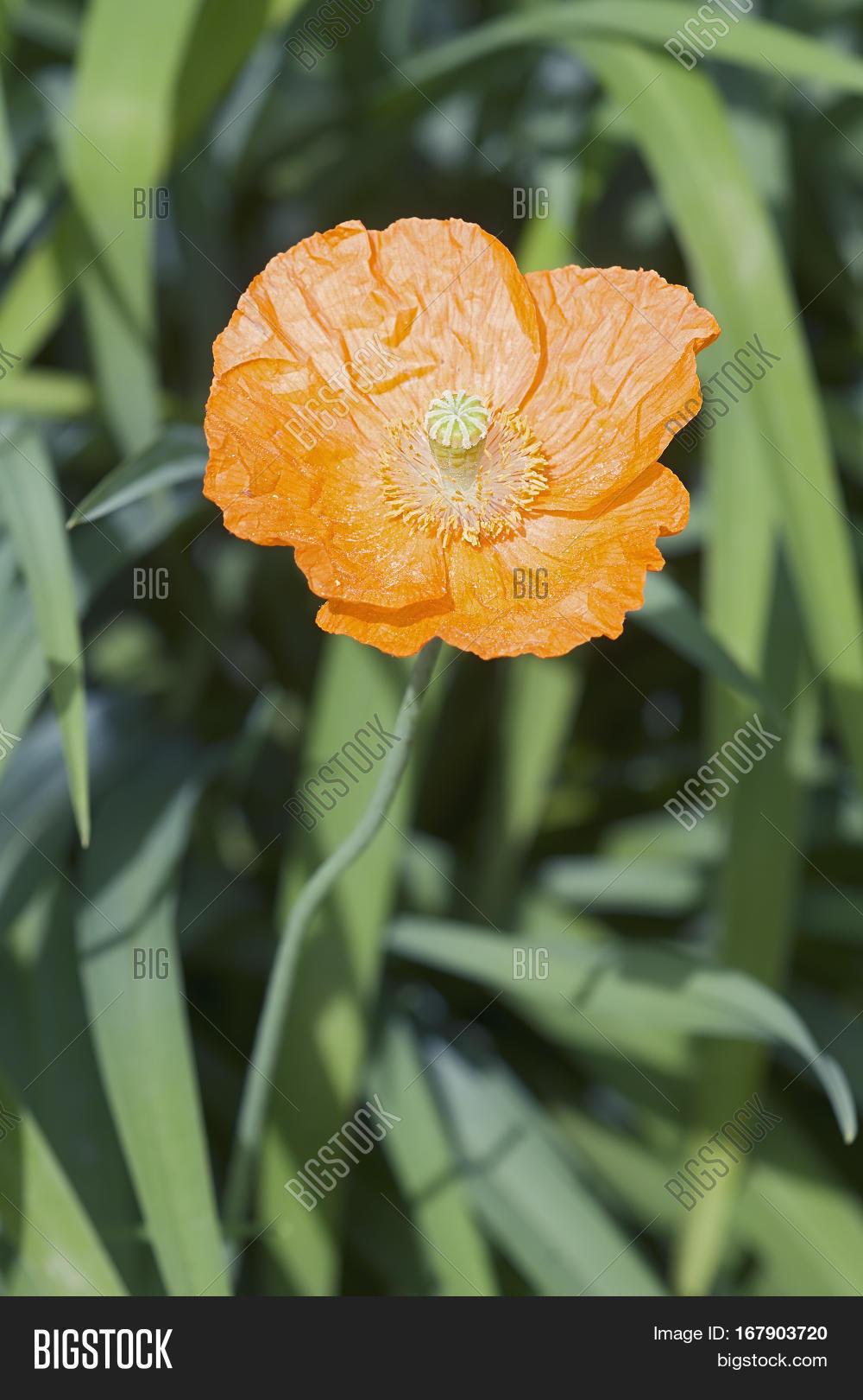 Iceland poppy flower image photo free trial bigstock iceland poppy flower mightylinksfo