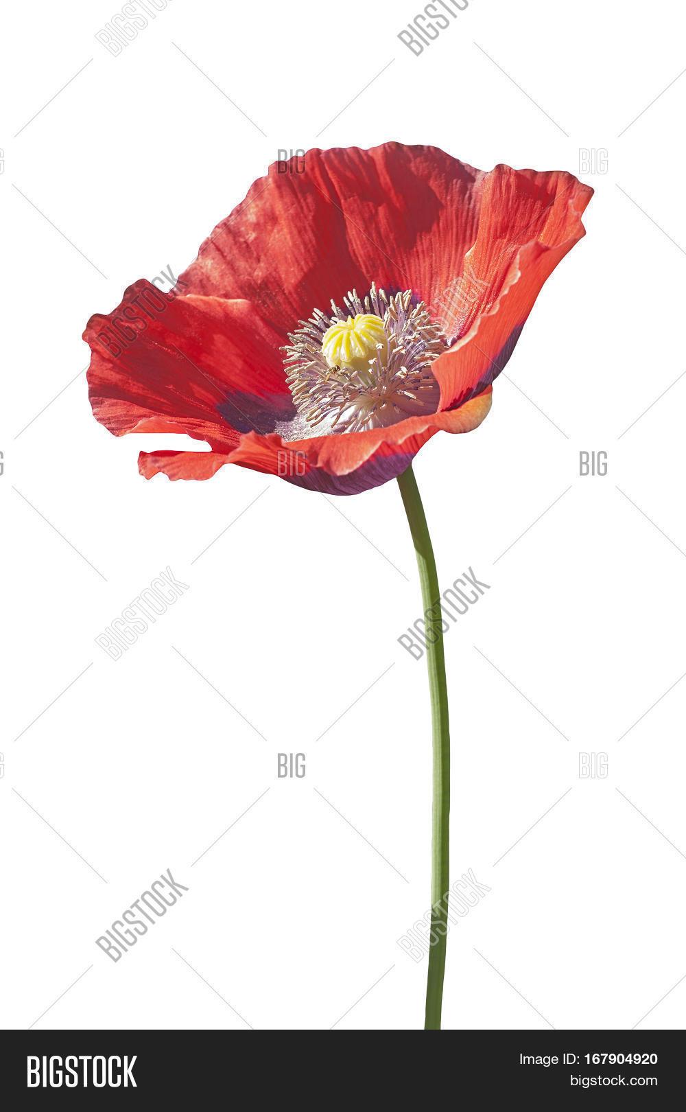 Opium Poppy Flower Image Photo Free Trial Bigstock