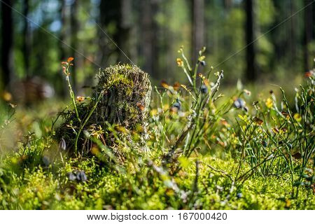 Forest stump, a brightly lit day in the sun with lots of moss