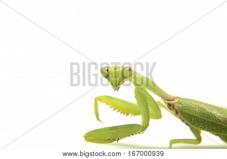 Mantis on white background. Soothsayer or mantis green insect. Grass green Mantodea from tropical nature. Mantis isolated picture with text place