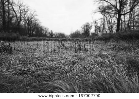 High trampled grass after rain in the forest among the trees, black and white