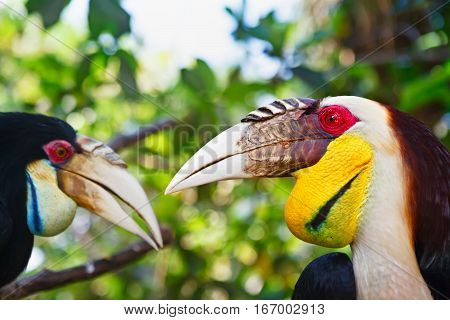 Portrait of Southeast Asian bar-pouched wreathed hornbills against jungle. Side view of wild wreathed hornbill heads on green background. Wildlife and rainforest exotic tropical birds.