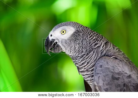 Portrait of African grey parrot against jungle. Side view of wild grey parrot head on green background. Wildlife and rainforest exotic tropical birds as popular pet breeds.