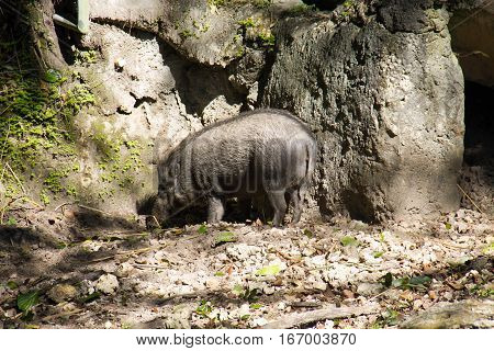 Visayan warty pig at the corner of stone