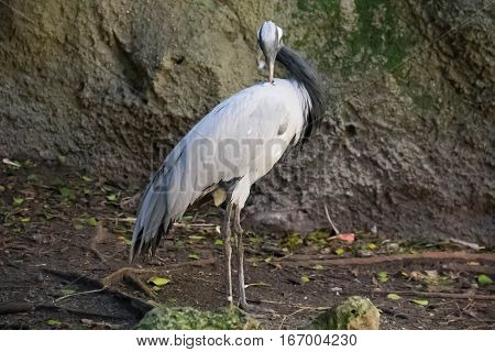 Demoiselle Crane stands on the ground with blurred background