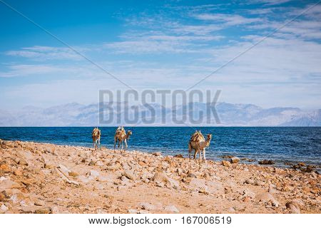 Camels on desert beach coast Sinai, Egypt, Africa