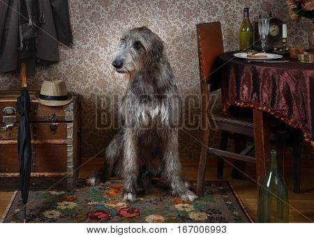 Two years old purebred Irish wolfhound of gray color sitting on the floor in the room