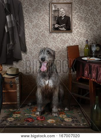 Two years old purebred Irish wolfhound dog waiting for his master indoors