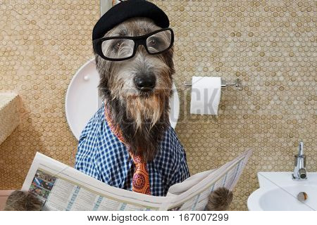 Humorous picture of a Irish wolfhound dog dressed in a hat glasses and shirt sitting on the crapper reading the newspaper