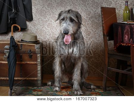 Thoroughbred two years old Irish wolfhound dog sitting on the floor in the room
