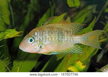 Socoloffs gold cichlid (Thorichthys socoloffi) - male
