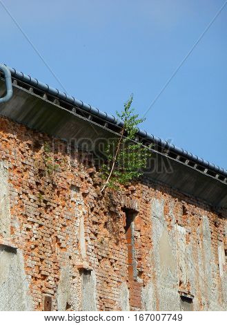 Photo of a little birch tree growing out from an old building