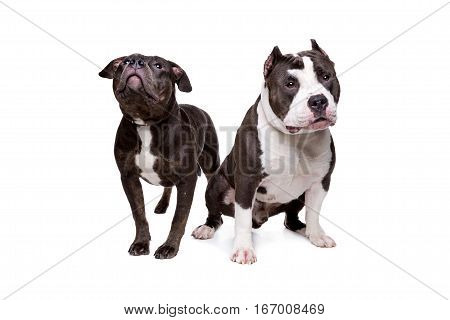 Two Pit Bull Dogs