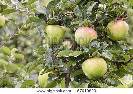 Green apples detail on a tree. Agriculture background. Food