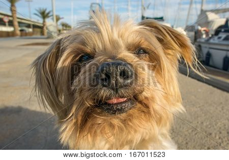 Dog face. Wide angle with texture of dog nose Yorkshire Terrier brown dog Macro Closeup detail doggie