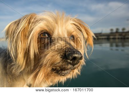 Dog face. Wide angle Selective focus on the eyes. Yorkshire Terrier brown dog. Closeup detail doggie Maritime background