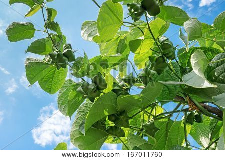 Sacha Inchi tropical mountain peanut on creeper plant