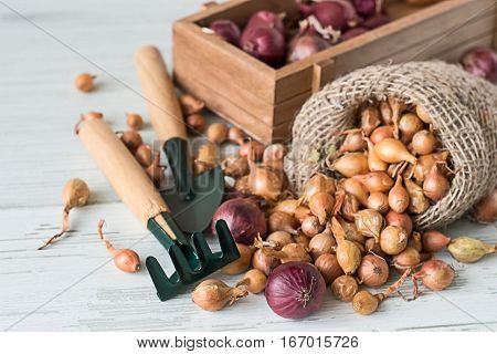 Small onions for planting in a sack and in a wooden box, next to rake and shovel.