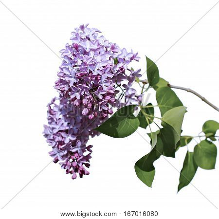Flowering branch of pink lilac isolated on white background