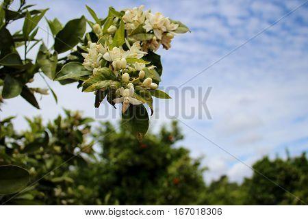 Flor de laranjeira num laranjal de Portugal