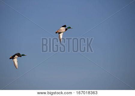 Dois patos a voar livres no céu