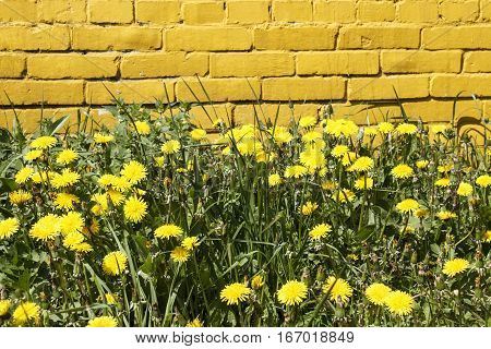 Flowering yellow dandelions on a background of yellow brick wall
